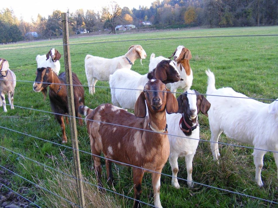 Eco-Goats_3